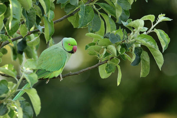 Introduced Species Photograph - Male Rose-ringed Parakeet Psittacula by Garden Picture Library