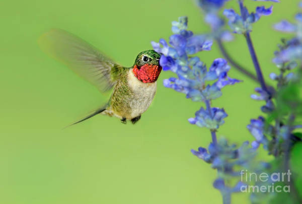 Photograph - Male Ruby-throated Hummingbird Feeding Arizona by Dave Welling
