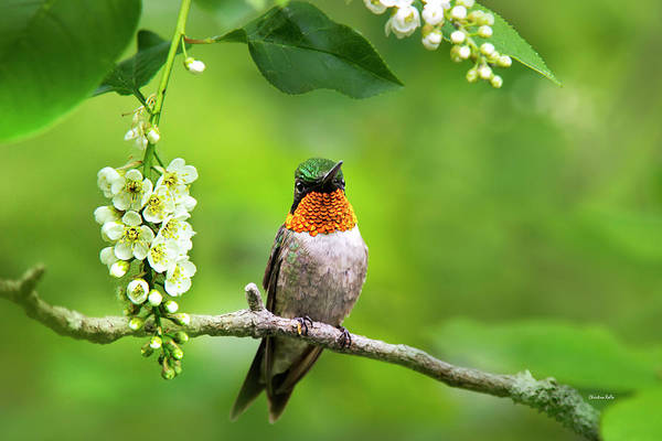 Photograph - Male Ruby Throated Hummingbird With Showy Gorget by Christina Rollo