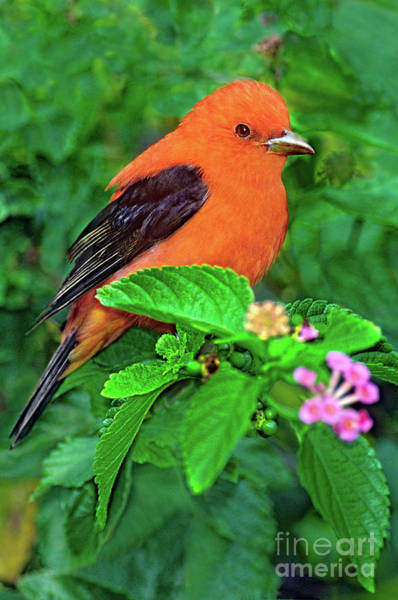 Photograph - Male Scarlet Tanager On Texas Lantana by Dave Welling
