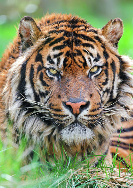 In The Grass Photograph - Male Sumatran Tiger by Picture By Tambako The Jaguar