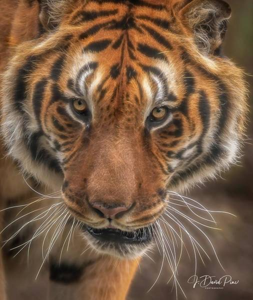 Photograph - Male Tiger by David Pine