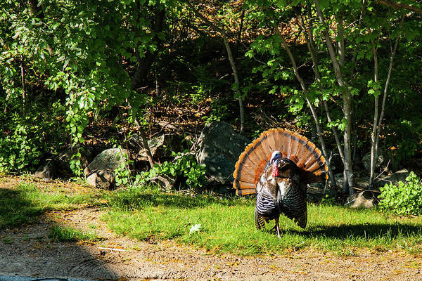 Photograph - Male Tom Turkey Striking A Pose by Jeff Folger
