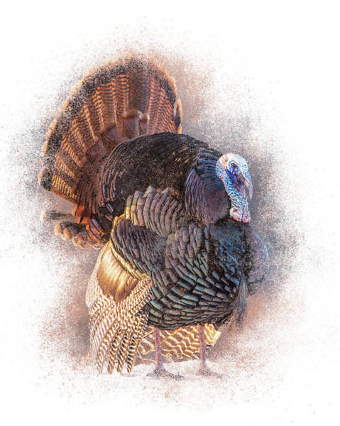 Photograph - Male Turkey Display by Patti Deters
