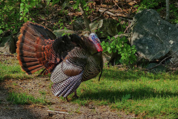 Photograph - Male Turkey In Rut by Jeff Folger