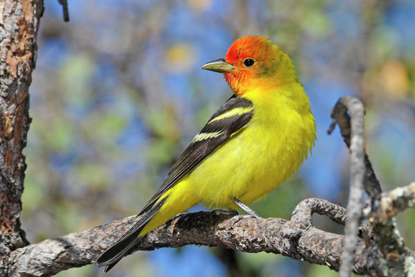 Birds Of Texas Photograph - Male Western Tanager by Eastman Photography Views Of The Southwest