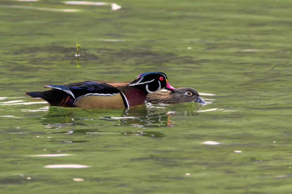 Photograph - Male Wood Duck Giving The Female A Peck by Dan Friend