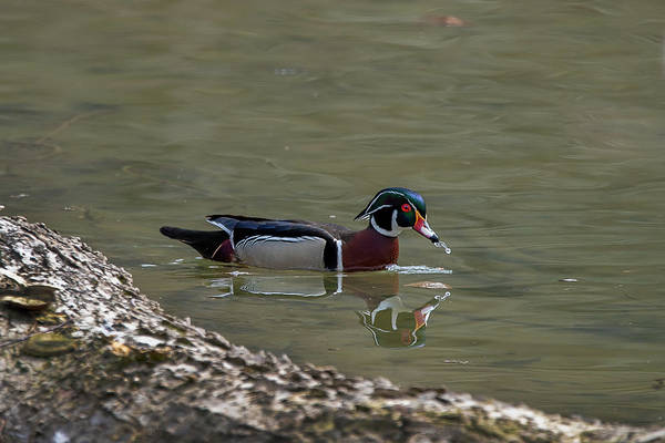 Photograph - Male Wood Duck Water Dripping Off Beak Near Log by Dan Friend