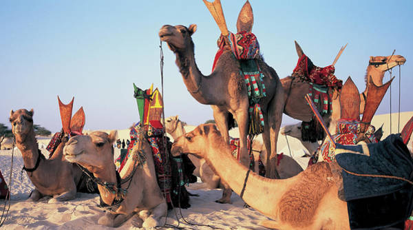 Developing Country Photograph - Mali, Timbuktu, Sahara Desert, Camels by Peter Adams