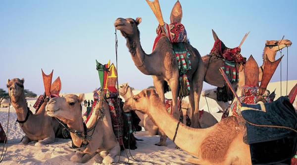 Saddle Photograph - Mali, Timbuktu, Sahara Desert, Camels by Peter Adams