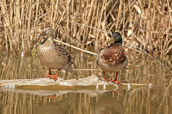 Wall Art - Photograph - Mallard 4230  Anas Platyrhynchos  by Michael Trewet
