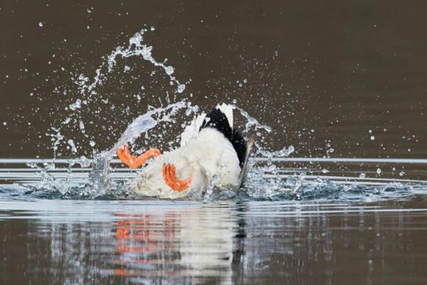 Wall Art - Photograph - Mallard Drake Bathing by Ken Archer