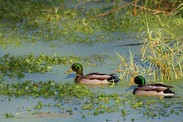 Wall Art - Photograph - Mallard Drakes, Blue Green Algae by Ken Archer