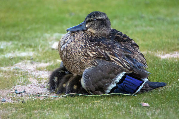 Photograph - Mallard Duck And Chicks 6174-061219 by Tam Ryan