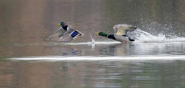Photograph - Mallard Duck Chase 0984-011419 by Tam Ryan