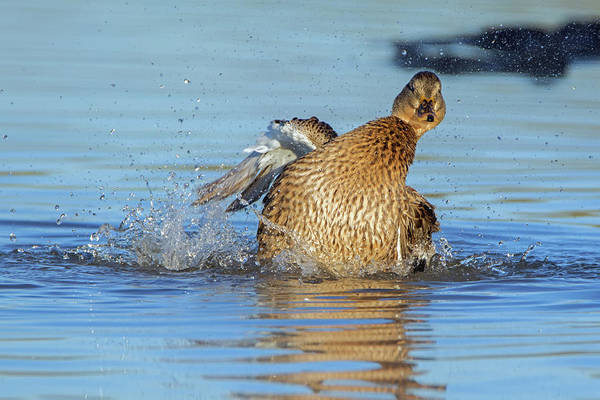 Photograph - Mallard Duck Female Bathing 6324-121818-1 by Tam Ryan