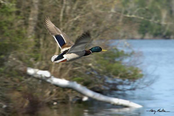 Photograph - Mallard Duck by Harry Moulton
