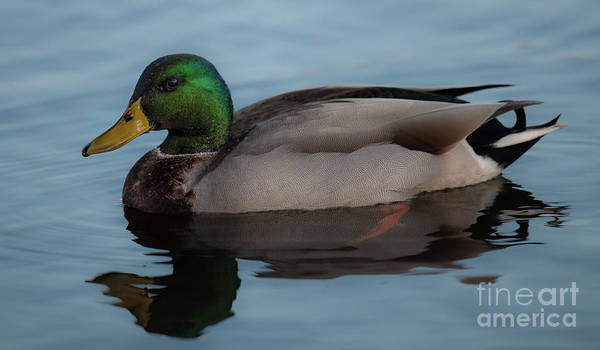 Photograph - Mallard Duck - Lowcountry by Dale Powell
