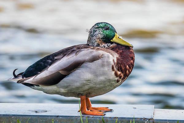 Greenhead Photograph - Mallard By The Pond by Jordan Hill