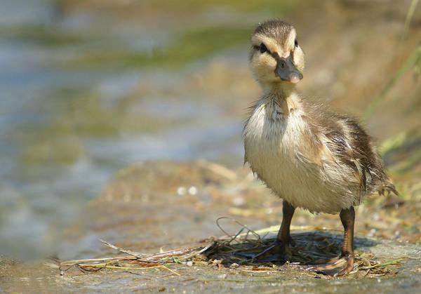 Lamontagne Photograph - Mallard Duckling by Corinne Lamontagne