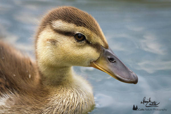 Wall Art - Photograph - Mallard Duckling by David Cutts