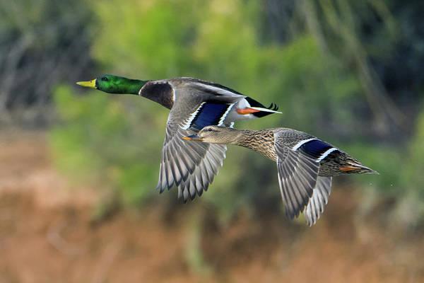 Photograph - Mallard Ducks 0862-010919 by Tam Ryan