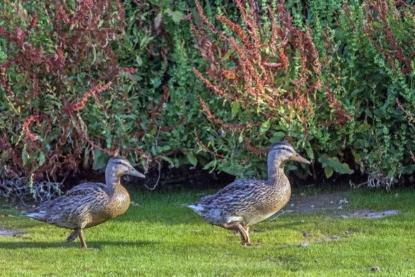 Photograph - Mallard Ducks 6182-061219 by Tam Ryan