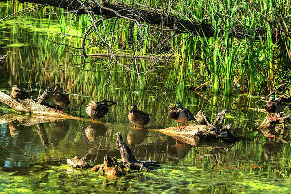 Photograph - Mallard Family by Edward Peterson