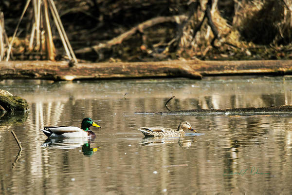 Photograph - Mallard Family Pairing by Edward Peterson