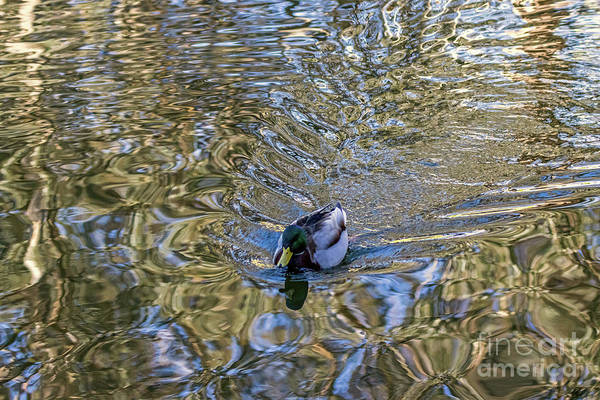 Photograph - Mallard Fantail by Kate Brown