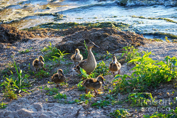 Wall Art - Photograph - Mallard Hen And Her Ducklings by Catherine Sherman