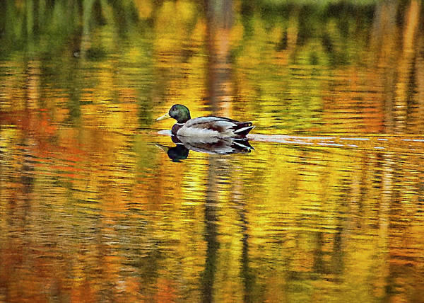 Wall Art - Photograph - Mallard In Maine - Painterly by Cordia Murphy