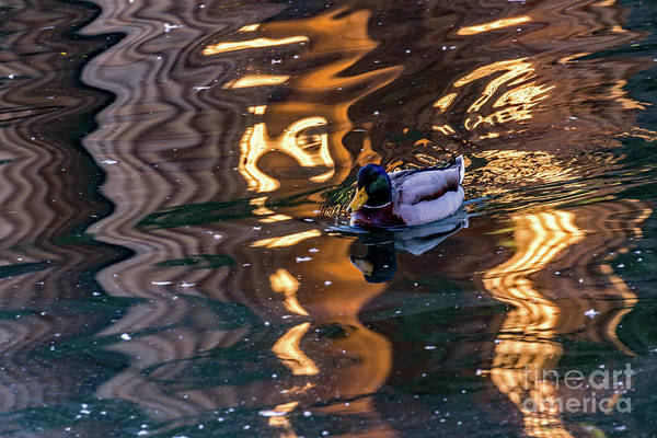 Photograph - Mallard In Reflections by Kate Brown