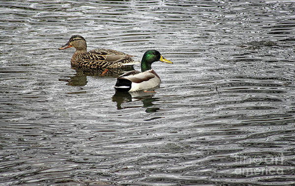 Photograph - Mallard Mates by Karen Adams