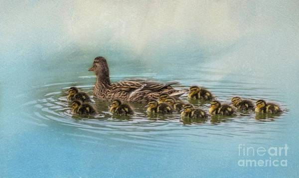 Photograph - Mallard Mom With 11 Babies by Eva Lechner