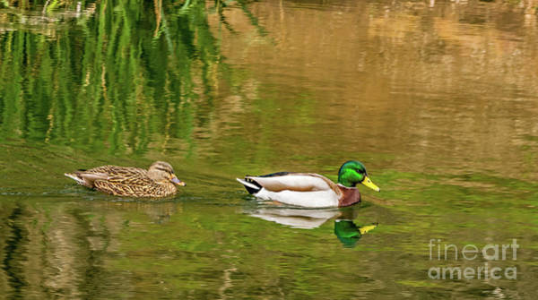 Photograph - Mallard Pair II by Kate Brown