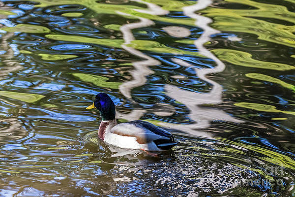 Photograph - Mallard Reflected In Blue by Kate Brown