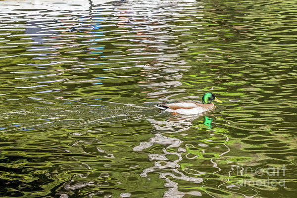 Photograph - Mallard Reflected With Boat by Kate Brown