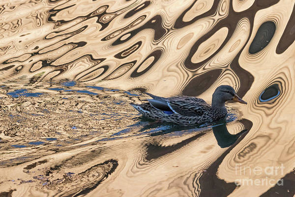 Photograph - Mallard Reflections In Blue by Kate Brown