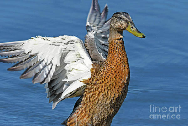 Wall Art - Photograph - Mallard Show Off by Regina Geoghan
