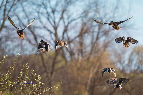 Photograph - Mallards Flying Away by Edward Peterson