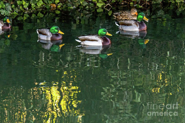 Photograph - Mallards In The Shadows by Kate Brown