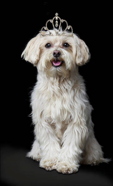Poodle Photograph - Maltese Poodle Dog Wearing Tiara by Gk Hart/vikki Hart