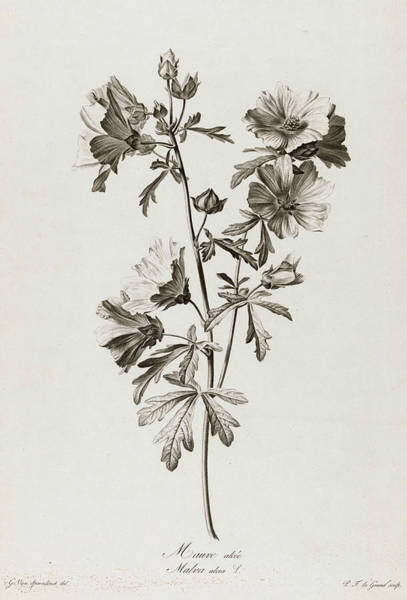 Wall Art - Painting - Malva Alcea, 1801 by Pierre Francois Legrand