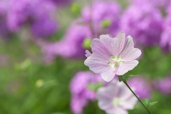 Photograph - Malva Sylvestris by Jenny Rainbow