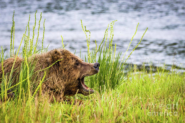 Photograph - Mama Bear Screaming At Her Cubs by Lyl Dil Creations