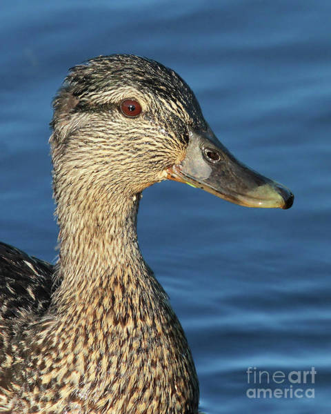 Photograph - Mama Black Duck by Debbie Stahre