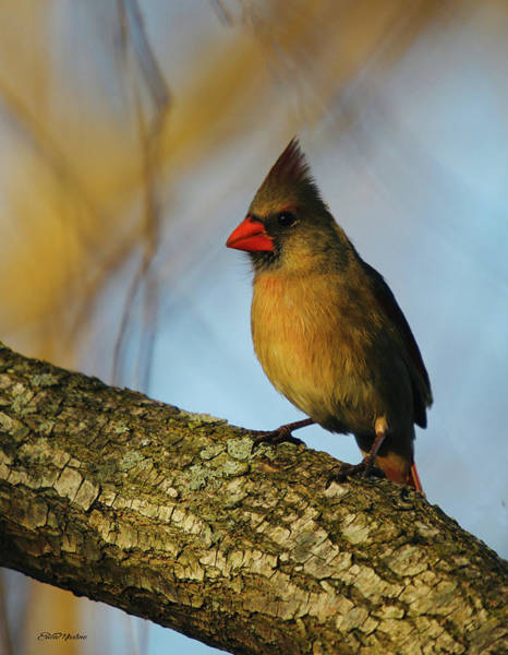 Photograph - Mama Cardinal In The Willow by Ericamaxine Price