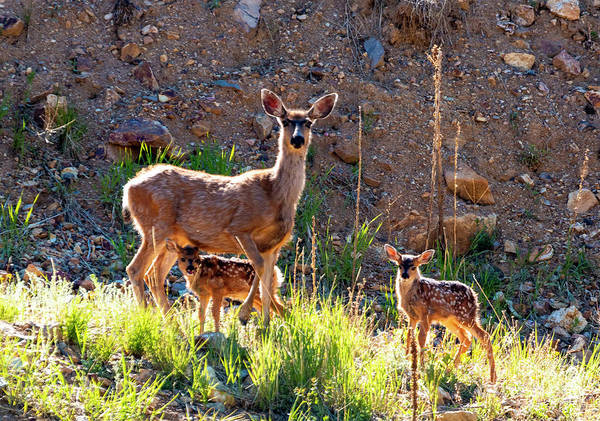Photograph - Mama Deer Protecting Fawns by Steve Krull