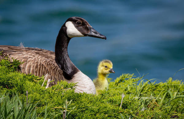 Wall Art - Photograph - Mama Goose And Baby by Connie Allen